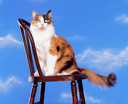 CAT 02 RK0330 03 © Kimball Stock Calico Cat Sitting On Wooden Chair