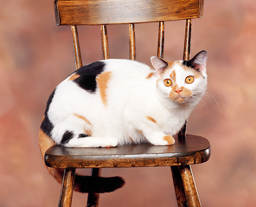 CAT 02 RK0382 04 © Kimball Stock American Shorthair Classic Calico Sitting On Wooden Chair Studio