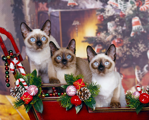 CAT 02 RK0394 03 © Kimball Stock Tonkinese Natural Mink  Sitting In Sleigh Christmas   Studio