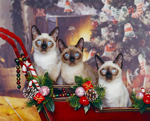 CAT 02 RK0394 09 © Kimball Stock Tonkinese Natural Mink  Sitting In Sleigh Christmas   Studio