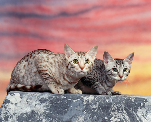 CAT 02 RK0413 04 © Kimball Stock Ocicat Silver And Chocolate Spotted Sitting Sunset Studio