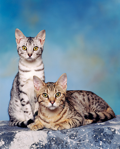 CAT 02 RK0455 03 © Kimball Stock Ocicat Silver And Tawny Sitting Studio