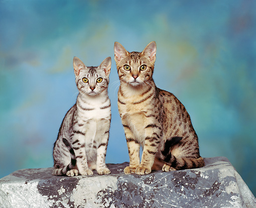 CAT 02 RK0455 11 © Kimball Stock Ocicat Silver And Tawny Sitting Studio