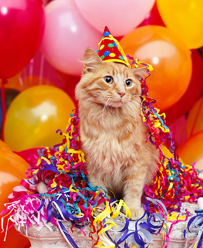 CAT 02 RK0485 03 © Kimball Stock Red Tabby Cat Wearing Party Hat By Balloons Studio