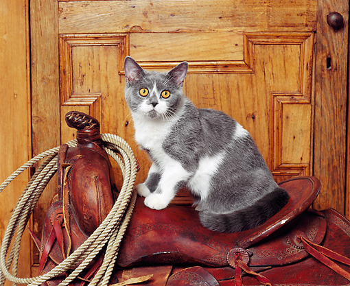 CAT 02 RK0490 10 © Kimball Stock British Shorthair Blue And White Sitting On Saddle