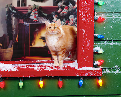 CAT 02 RK0505 01 © Kimball Stock Orange And White Cat Standing By Window With Christmas Lights