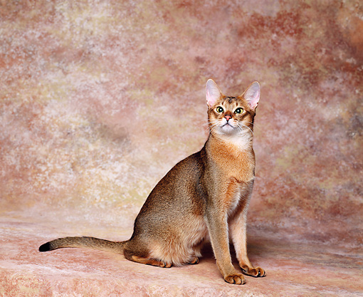 CAT 02 RK0595 05 © Kimball Stock Abyssinian Ruddy Sitting Studio