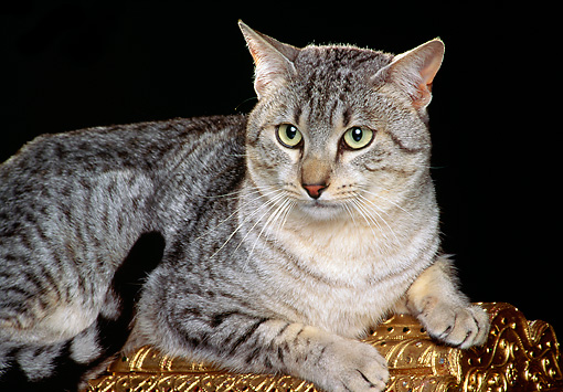 CAT 02 RK0675 07 © Kimball Stock Egyptian Mau Silver Laying On Top Of Gold Chest Studio