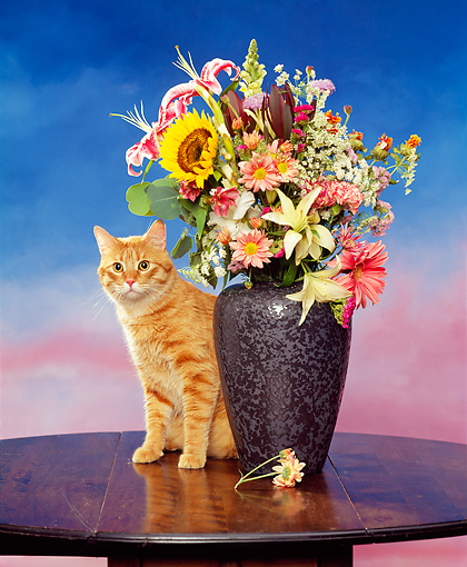 CAT 02 RK0710 12 © Kimball Stock Orange Tabby Cat Sitting Next To Vase Of Flowers