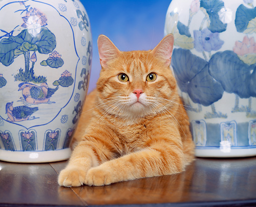 CAT 02 RK0716 03 © Kimball Stock Head Shot Of Orange Tabby Cat Laying By Vases Studio