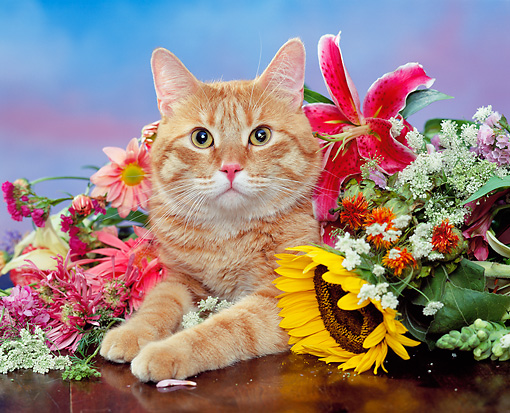 CAT 02 RK0717 02 © Kimball Stock Head Shot Of Orange Tabby Cat Laying By Flowers Studio