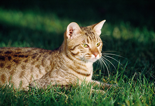 CAT 02 RK0849 15 © Kimball Stock Ocicat Chocolate Laying Outside On Grass