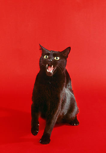 CAT 02 RK0863 04 © Kimball Stock Black Cat Hissing On Red Seamless Studio