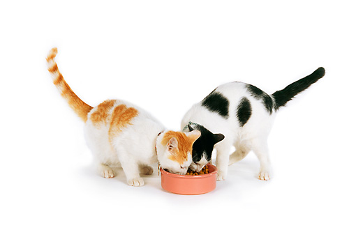 CAT 02 RK0978 18 © Kimball Stock Two Cats Sharing Bowl Of Food White Seamless Studio
