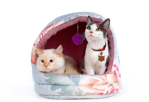 CAT 02 RK0987 01 © Kimball Stock Two Cats Inside Cat Bed On White Seamless Studio