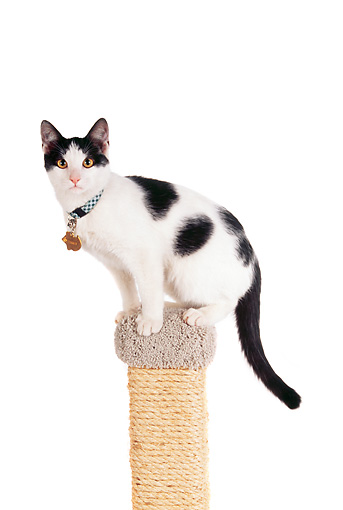 CAT 02 RK1001 03 © Kimball Stock Black And White Cat Sitting On Top Of Scratching Post On White Seamless Studio
