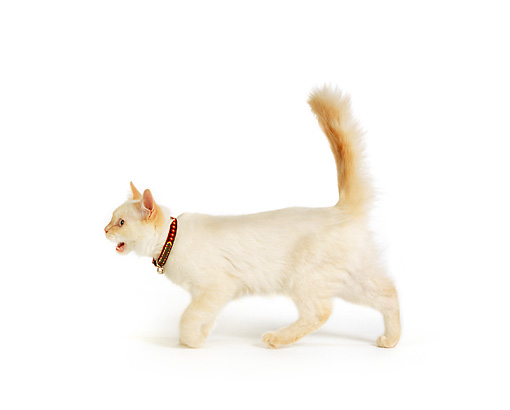 CAT 02 RK1007 04 © Kimball Stock Profile Shot Of Cream Color Cat Walking Across White Seamless Studio