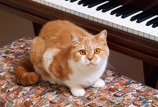 CAT 02 RK1010 09 © Kimball Stock Orange And White Cat Sitting On Bench By Piano