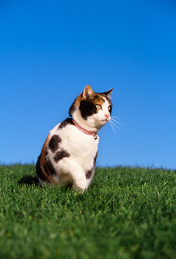 CAT 02 RK1051 09 © Kimball Stock Calico Cat Sitting On Grass Hill