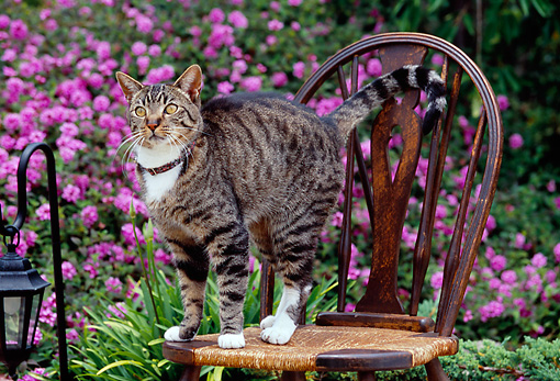 CAT 02 RK1123 01 © Kimball Stock Tabby Cat Standing On Chair Purple Flower