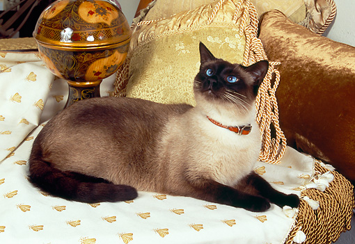 CAT 02 RK1153 02 © Kimball Stock Siamese Cat Laying On Couch By Pillows And Art Object