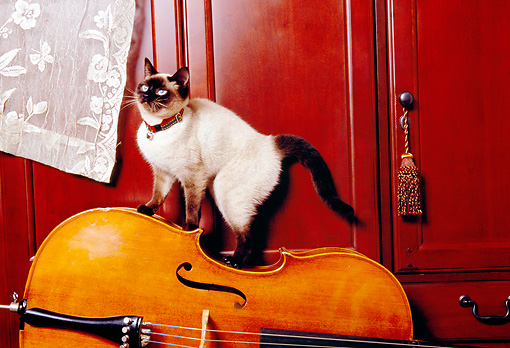 CAT 02 RK1164 10 © Kimball Stock Siamese Cat Climbing On Cello By Lace Curtain