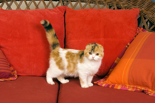 CAT 02 RK1394 01 © Kimball Stock Scottish Fold Calico Cat Female Standing On Couch By Pillows