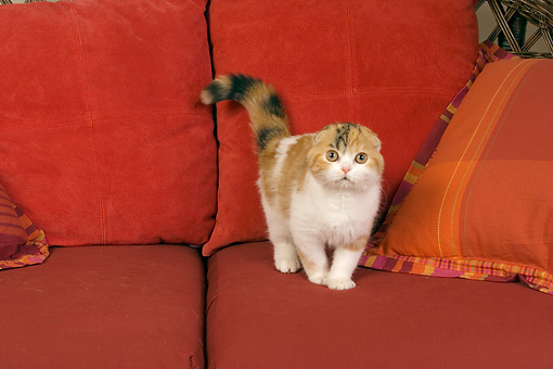 CAT 02 RK1395 01 © Kimball Stock Scottish Fold Calico Cat Female Standing On Couch By Pillows