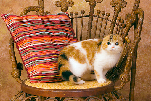 CAT 02 RK1397 01 © Kimball Stock Scottish Fold Calico Cat Female Standing On Chair By Colorful Striped Pillow