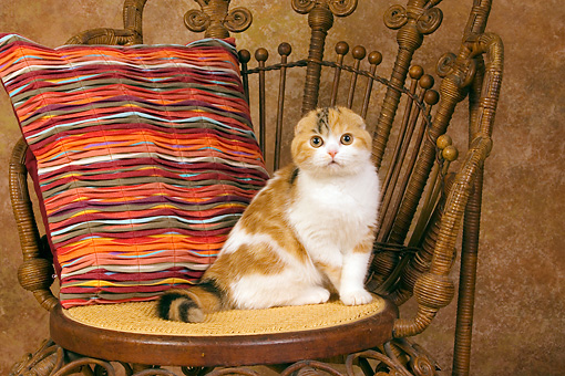 CAT 02 RK1399 01 © Kimball Stock Scottish Fold Calico Cat Female Sitting On Chair By Colorful Striped Pillow