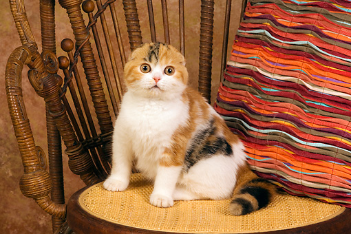 CAT 02 RK1400 01 © Kimball Stock Scottish Fold Calico Cat Female Sitting On Chair By Colorful Striped Pillow