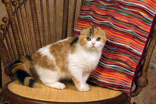 CAT 02 RK1401 01 © Kimball Stock Scottish Fold Calico Cat Female Sitting On Chair By Colorful Striped Pillow
