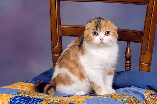 CAT 02 RK1402 01 © Kimball Stock Scottish Fold Calico Cat Female Sitting On Quilt On Chair