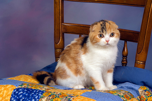 CAT 02 RK1403 01 © Kimball Stock Scottish Fold Calico Cat Female Sitting On Quilt On Chair