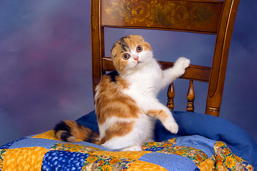 CAT 02 RK1405 01 © Kimball Stock Scottish Fold Calico Female Climbing On Quilt On Chair