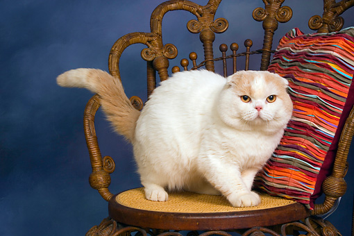 CAT 02 RK1413 01 © Kimball Stock Scottish Fold Cat Cream And White Male Standing On Chair By Striped Pillow Studio