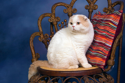CAT 02 RK1415 01 © Kimball Stock Scottish Fold Cat Cream And White Male Sitting On Chair By Colorful Striped Pillow Studio