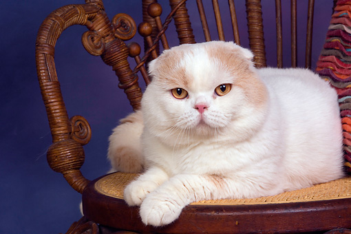 CAT 02 RK1416 01 © Kimball Stock Scottish Fold Cat Cream And White Male Laying On Chair Studio