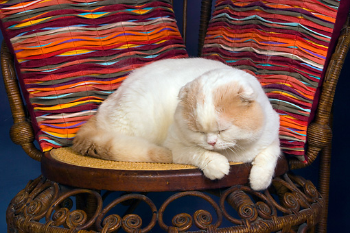 CAT 02 RK1419 01 © Kimball Stock Scottish Fold Cat Cream And White Male Laying On Chair By Colorful Striped Pillows Studio