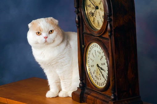 CAT 02 RK1424 01 © Kimball Stock Scottish Fold Cat Cream And White Male Sitting By Clock Studio