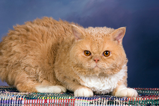 CAT 02 RK1427 01 © Kimball Stock Selkirk Rex Cat Cream Tabby And White Laying On Rug Studio