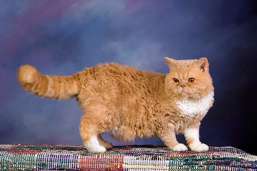 CAT 02 RK1428 01 © Kimball Stock Selkirk Rex Cat Cream Tabby And White Standing On Rug Studio