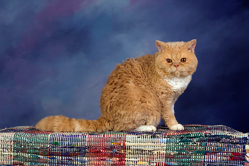 CAT 02 RK1430 01 © Kimball Stock Selkirk Rex Cat Cream Tabby And White Sitting On Rug Studio