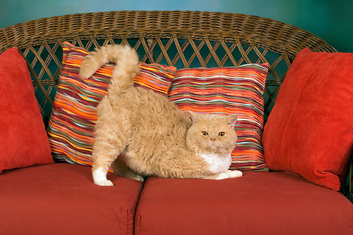 CAT 02 RK1436 01 © Kimball Stock Selkirk Rex Cat Cream Tabby And White Stretching On Couch With Pillows Studio