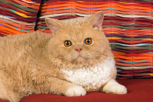 CAT 02 RK1437 01 © Kimball Stock Close-Up Of Selkirk Rex Cat Cream Tabby And White Laying On Couch By Striped Pillows Studio