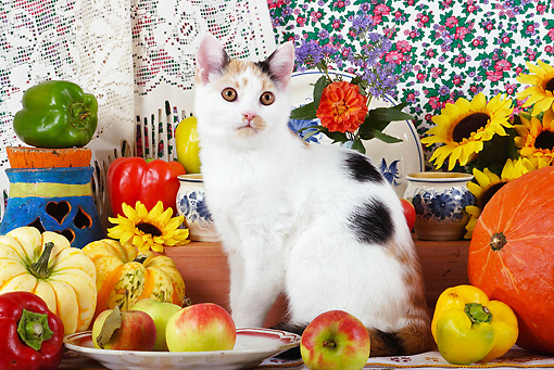 CAT 02 SJ0005 01 © Kimball Stock Calico Cat Sitting By China, Fruit And Sunflowers