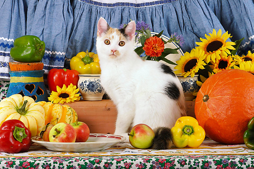 CAT 02 SJ0006 01 © Kimball Stock Calico Cat Sitting By China, Fruit And Sunflowers