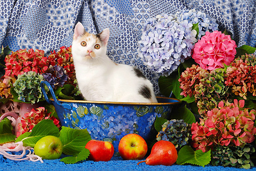 CAT 02 SJ0007 01 © Kimball Stock Calico Cat Sitting In Bowl By Fruit And Flowers
