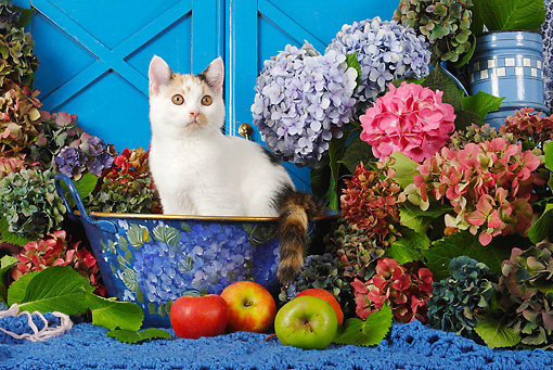 CAT 02 SJ0008 01 © Kimball Stock Calico Cat Sitting In Bowl By Fruit And Flowers