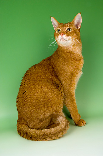 CAT 02 AL0001 01 © Kimball Stock Portrait Of Abyssinian Sorrel Studio